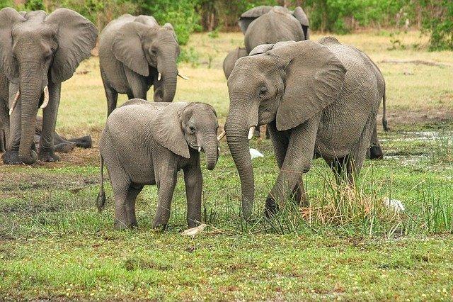éléphants en savane africaine