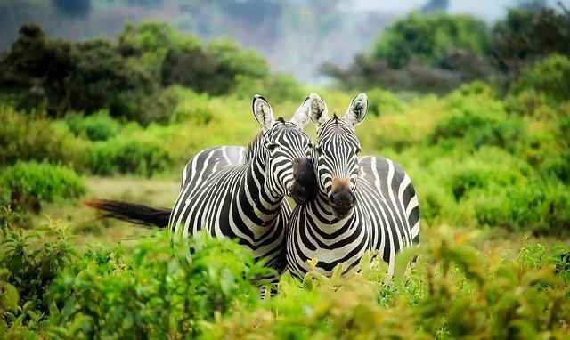 zebres dans un safari à kenya