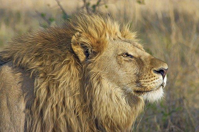 lion dans la savane